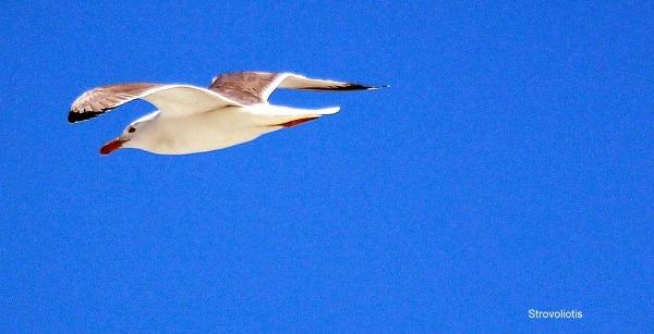 Το πουλλίν που είχε πετάσει.